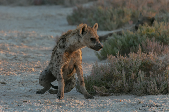 A spotted hyena mobilises itself in the golden light of evening preparing for a night of hunting.