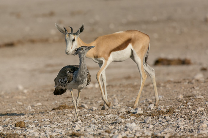 A kori bustard is gently moved away from the waterhole by a thirsty springbok. Two fairly common subjects caught in a moment of interaction.