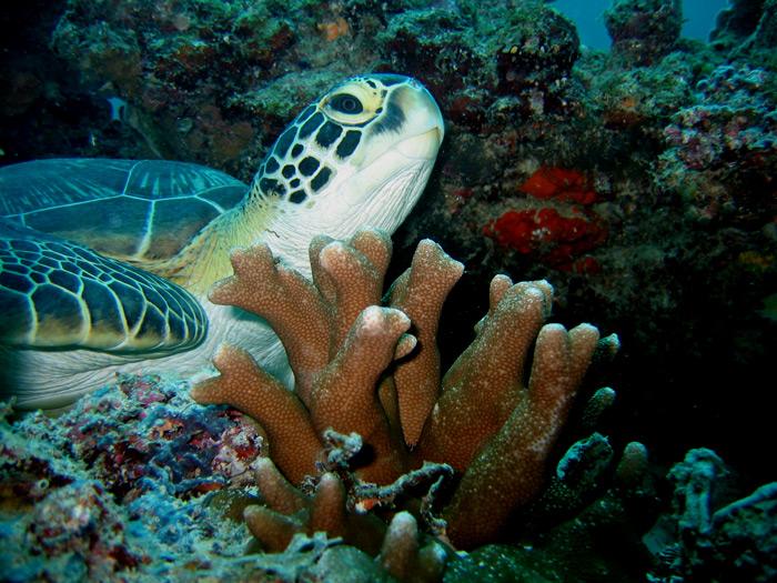 sshamba-kilole-green-turtle