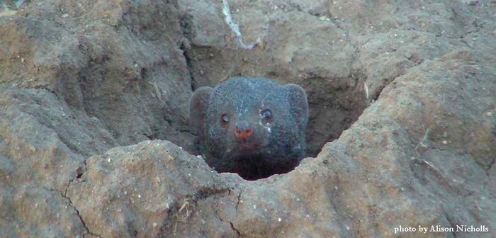 swarf-mongoose-by-alison-nicholls