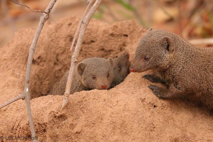 teo-mongooses