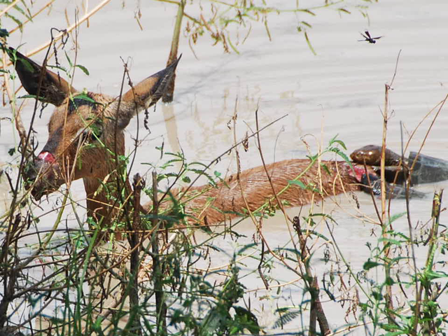 terrapins-snacking-on-impala