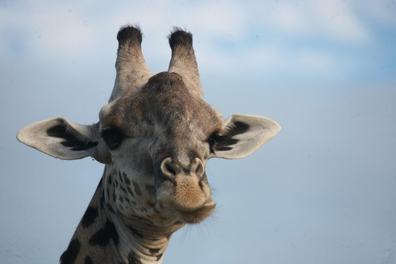 thornicraft-giraffe
