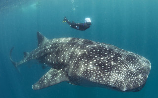 up-close-with-whale-sharks