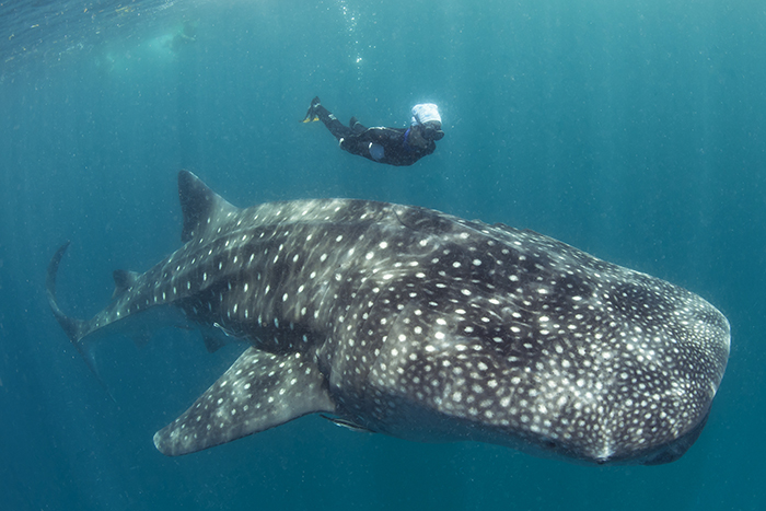 in addition Ground Whale 376850408 besides Trip To Cebu Swimming With Whale Sharks And Snorkeling moreover 92026363 His Little Sister Dan Howell Fanfic Old Friends in addition Belugawal Menschen Sprache 2132. on whale with mouth open