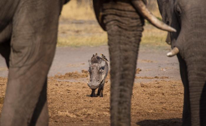 warthog-under-elephant