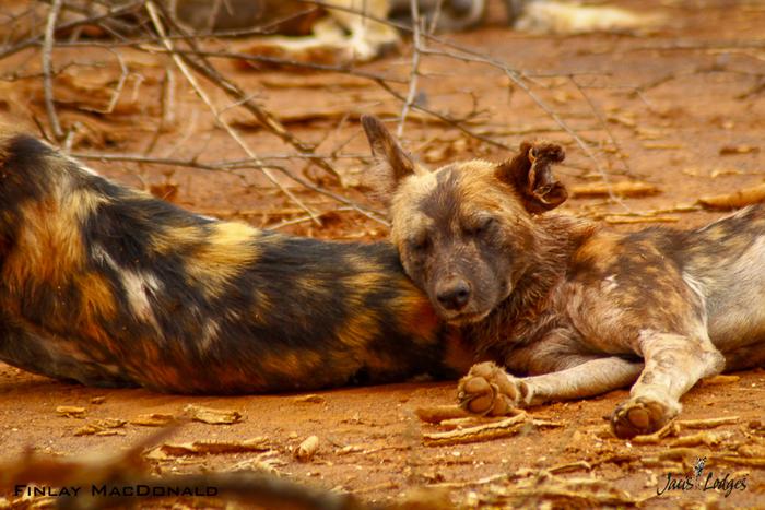 wilddog-sleeping