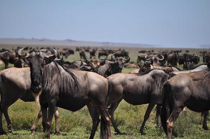 A group of Wildebeest grazing in the open plains of the Savanna