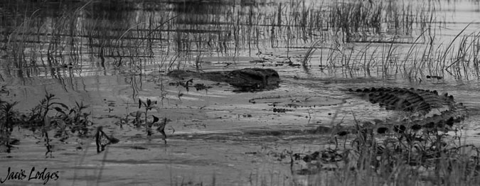 crocodile-bw