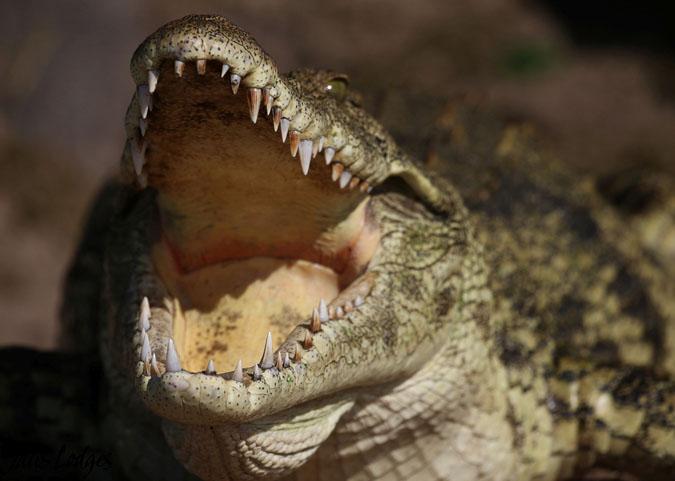 crocodile-smile