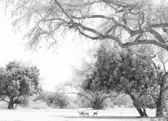 impala-luangwa