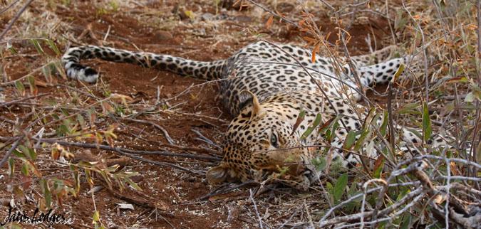 leopard-pic