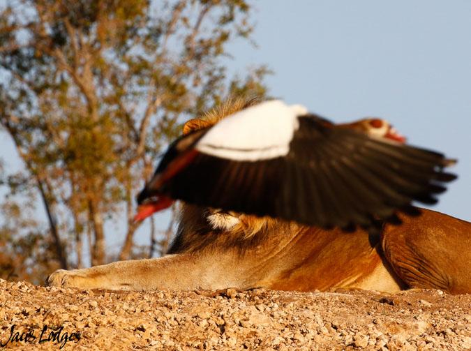 lion-bird-photobomb