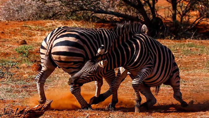 6-zebras