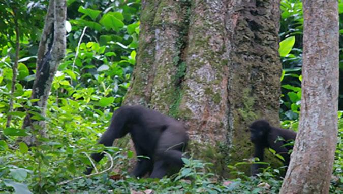 andreas-boussery-gorilla-3