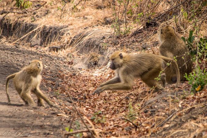 baboons-harass-leopard