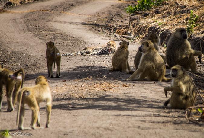 baboons-harrass-leopard