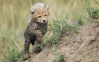 cheetah-cub-2
