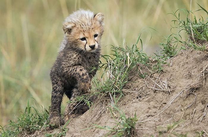 cheetah-cub