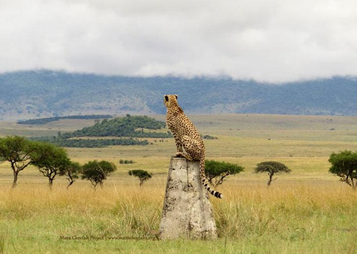 cheetah-in-the-mara
