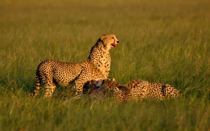 cheetahs-enjoying-a-kill