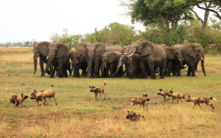 frontline-elephant-vs-wild-dog-francis-garrad-copy