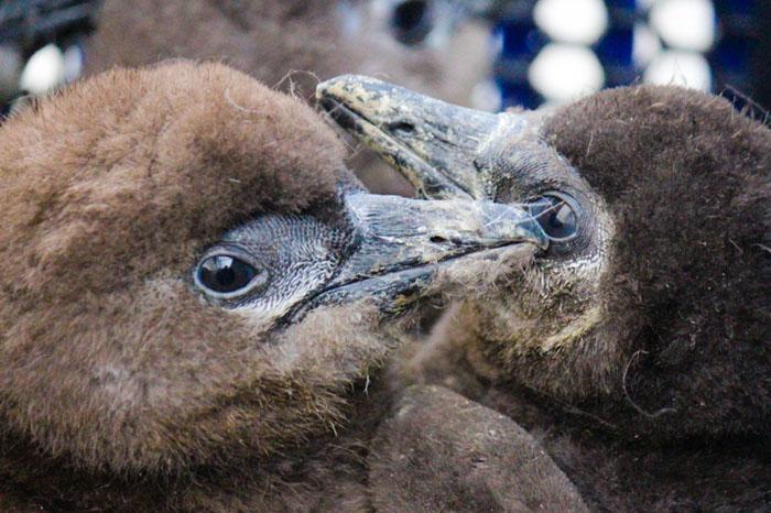 two-penguin-chicks