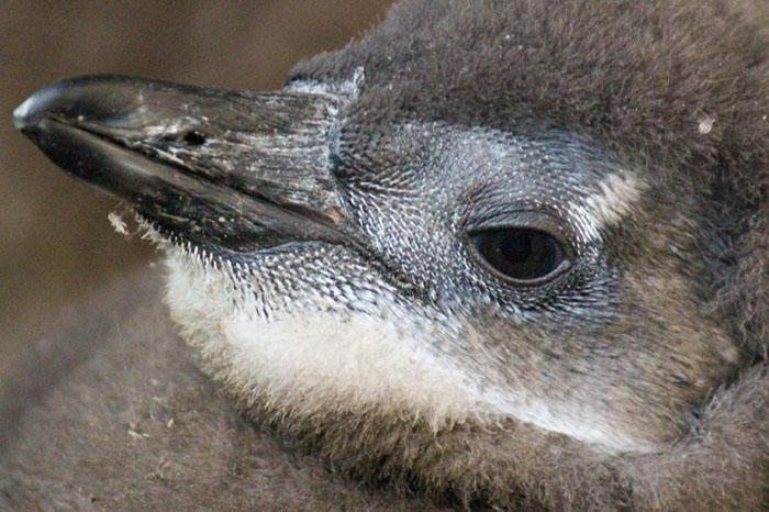 penguin-chick-portrait