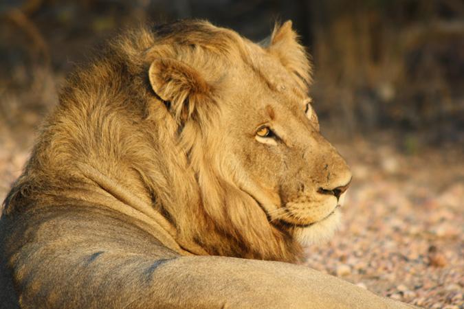 lion-lying-down