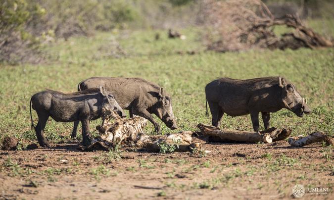 warthog-sighting