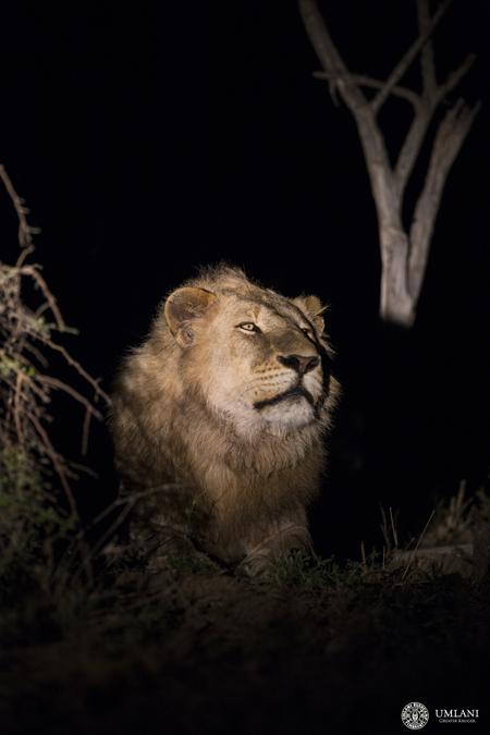 lion-nighttime