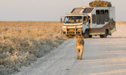 Wilddog Safaris