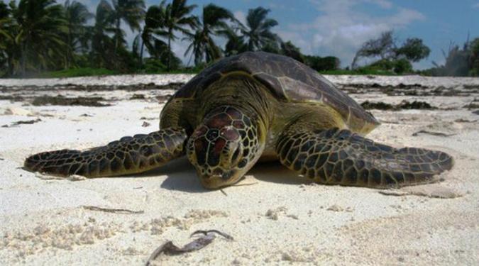 plight-of-turtles-in-watamu_adult-turtle
