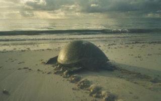 plight-of-turtles-in-watamu_returning-to-sea