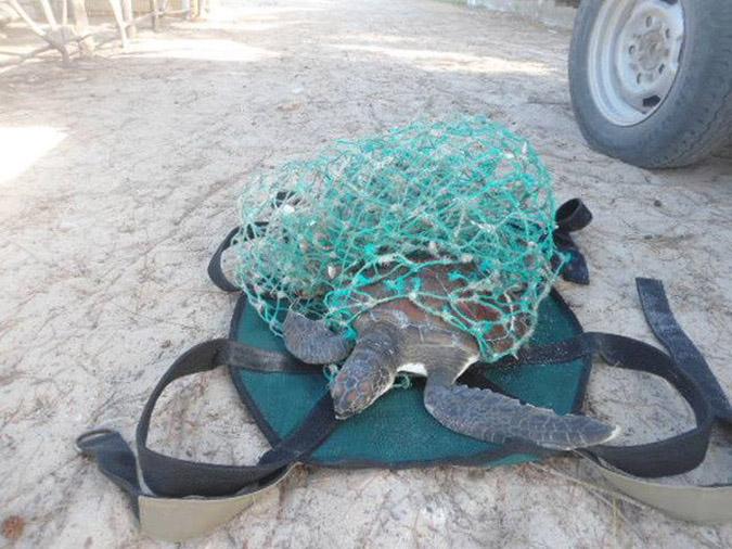 plight-of-turtles-in-watamu_tangled-turtle