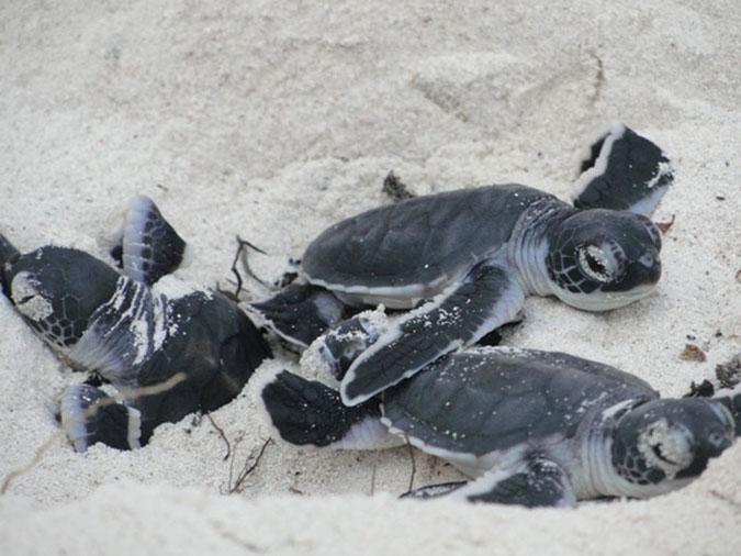 plight-of-turtles-in-watamu_turtle-hatching