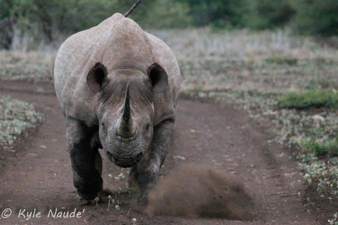 grumpy-rhino
