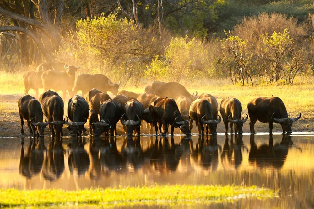 the-hide-buffalo