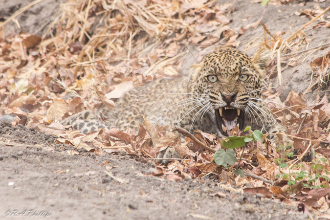 wounded-leopard
