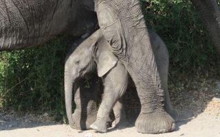 baby-elephant-zimbabwe