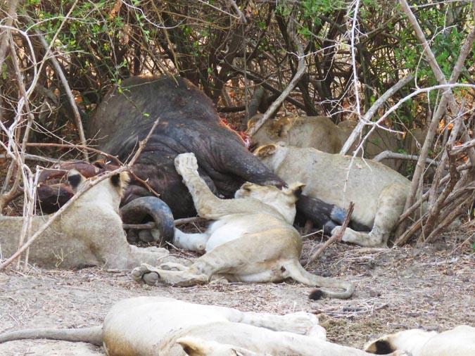buffalo-lions