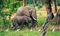 elephant2_henshall