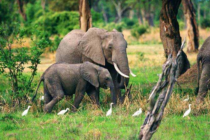 elephant_henshall