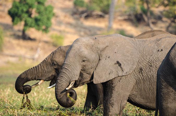 elephants-chobe-river-sunset-cruise-botswana-africageo