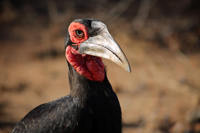 Ground hornbill, Kruger National Park, South Africa