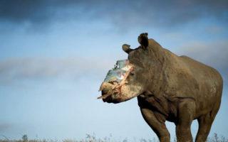 hope-rhino-saving-survivors
