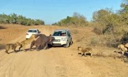 lion attack hippo