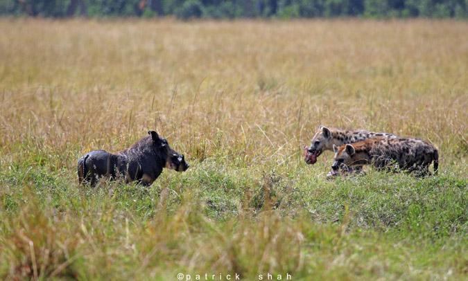 warthog-hyena