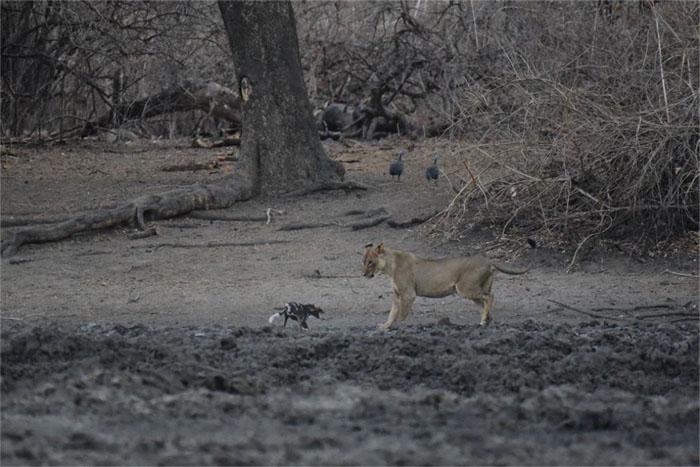 lioness-wilddog