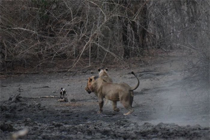 lion-wilddog-chase